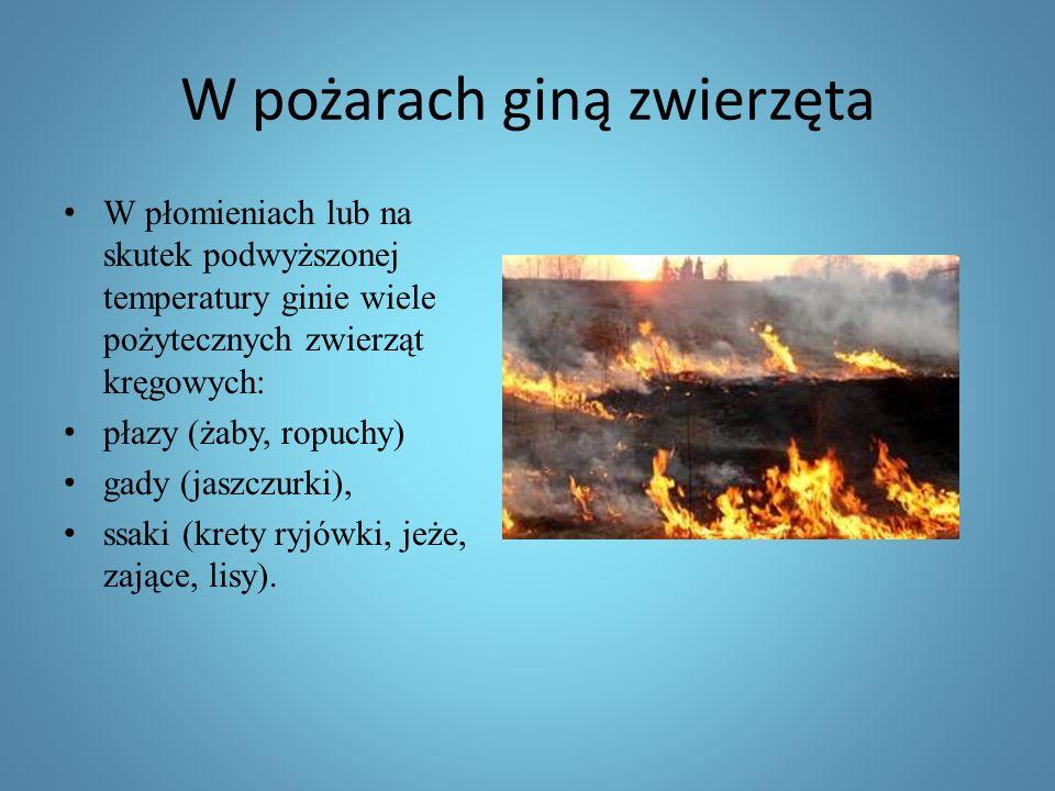 W pożarach giną zwierzęta W płomieniach lub na skutek podwyższonej temperatury ginie wiele pożytecznych zwierząt kręgowych: płazy (żaby, ropuchy) gady (jaszczurki), ssaki (krety ryjówki, jeże, zające, lisy).