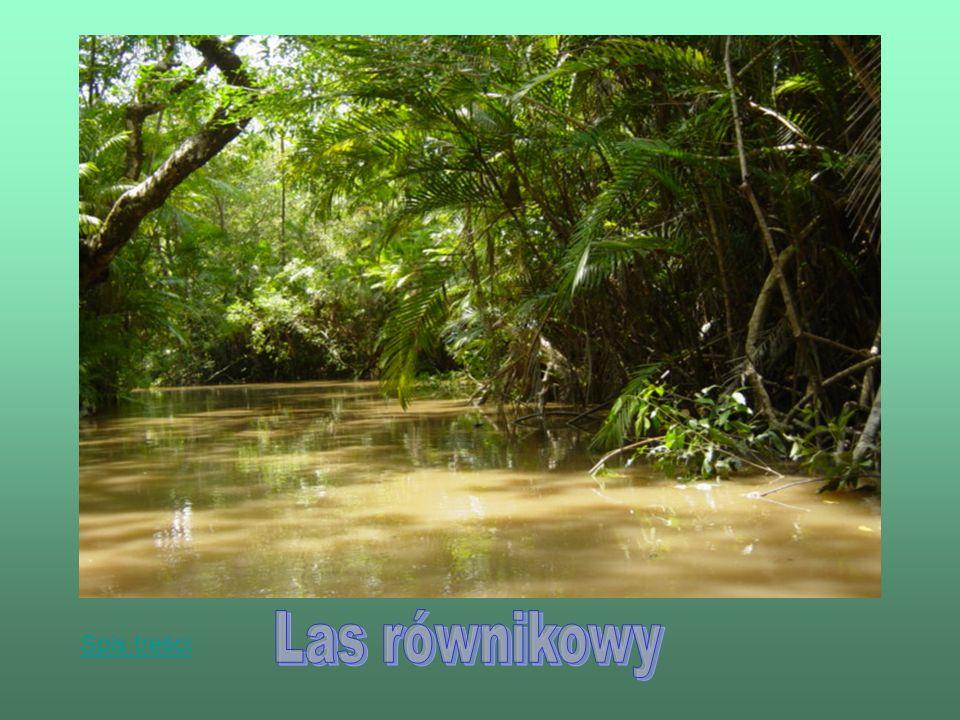 Lasy równikowe, zwane lasami deszczowymi, tropikalnymi lub dżunglą.