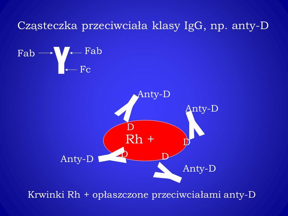 Y Fab Fc Cząsteczka przeciwciała klasy IgG, np.