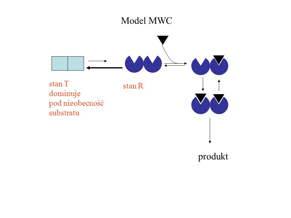 stan T dominuje pod nieobecność substratu stan R Model MWC produkt