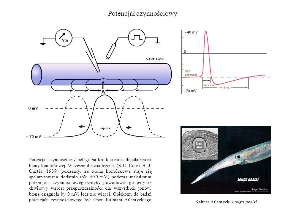 Potencjał czynnościowy Kalmar Atlantycki Loligo pealei Potencjał czynnościowy polega na krótkotrwałej depolaryzacji błony komórkowej. Wczesne doświadc