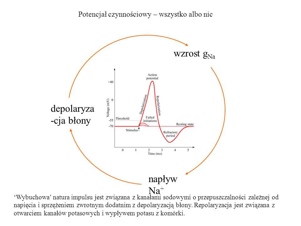 wzrost g Na Potencjał czynnościowy – wszystko albo nic depolaryza -cja błony napływ Na + Wybuchowa natura impulsu jest związana z kanałami sodowymi o