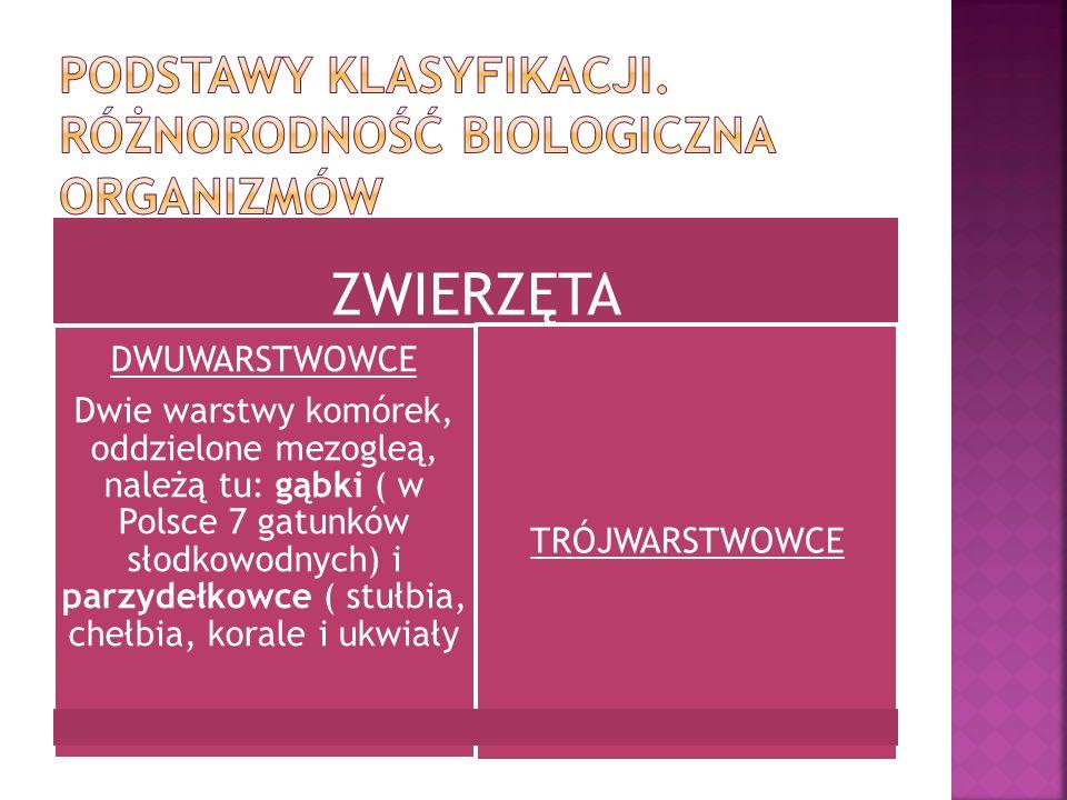ZWIERZĘTA DWUWARSTWOWCE Dwie warstwy komórek, oddzielone mezogleą, należą tu: gąbki ( w Polsce 7 gatunków słodkowodnych) i parzydełkowce ( stułbia, ch