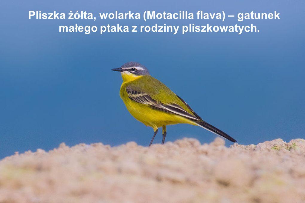 Pliszka żółta, wolarka (Motacilla flava) – gatunek małego ptaka z rodziny pliszkowatych.