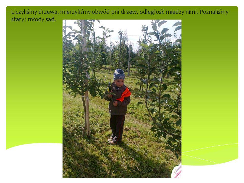 Liczyliśmy drzewa, mierzyliśmy obwód pni drzew, odległość miedzy nimi. Poznaliśmy stary i młody sad.