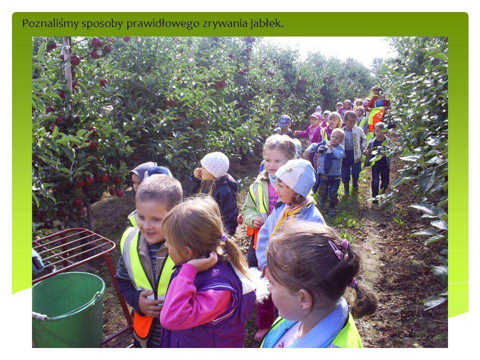 Poznaliśmy sposoby prawidłowego zrywania jabłek.