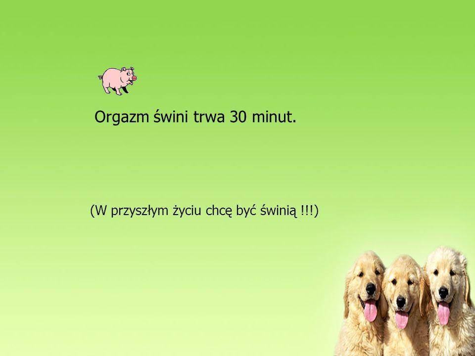 Orgazm świni trwa 30 minut. (W przyszłym życiu chcę być świnią !!!)