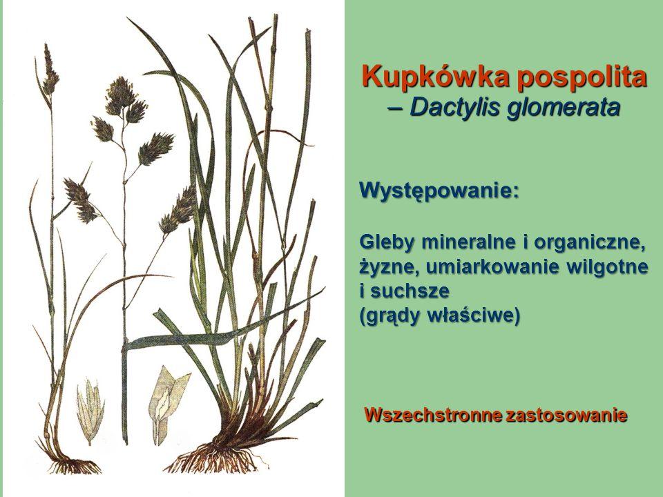 Kupkówka pospolita – Dactylis glomerata Wszechstronne zastosowanie Występowanie: Gleby mineralne i organiczne, żyzne, umiarkowanie wilgotne i suchsze