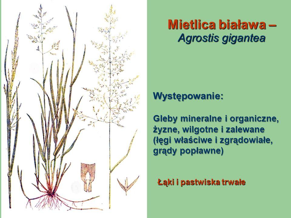 Mietlica biaława – Agrostis gigantea Łąki i pastwiska trwałe Występowanie: Gleby mineralne i organiczne, żyzne, wilgotne i zalewane (łęgi właściwe i z