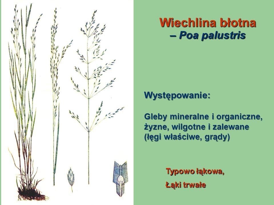 Wiechlina błotna – Poa palustris Typowo łąkowa, Łąki trwałe Występowanie: Gleby mineralne i organiczne, żyzne, wilgotne i zalewane (łęgi właściwe, grą