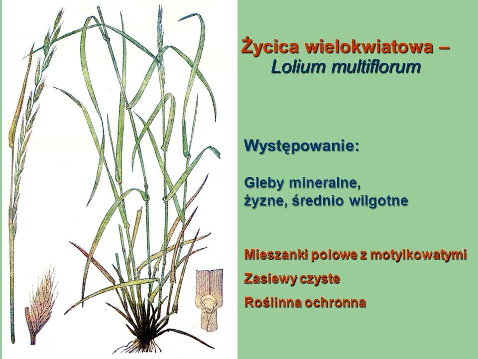 Życica wielokwiatowa – Lolium multiflorum Mieszanki polowe z motylkowatymi Zasiewy czyste Roślinna ochronna Występowanie: Gleby mineralne, żyzne, śred