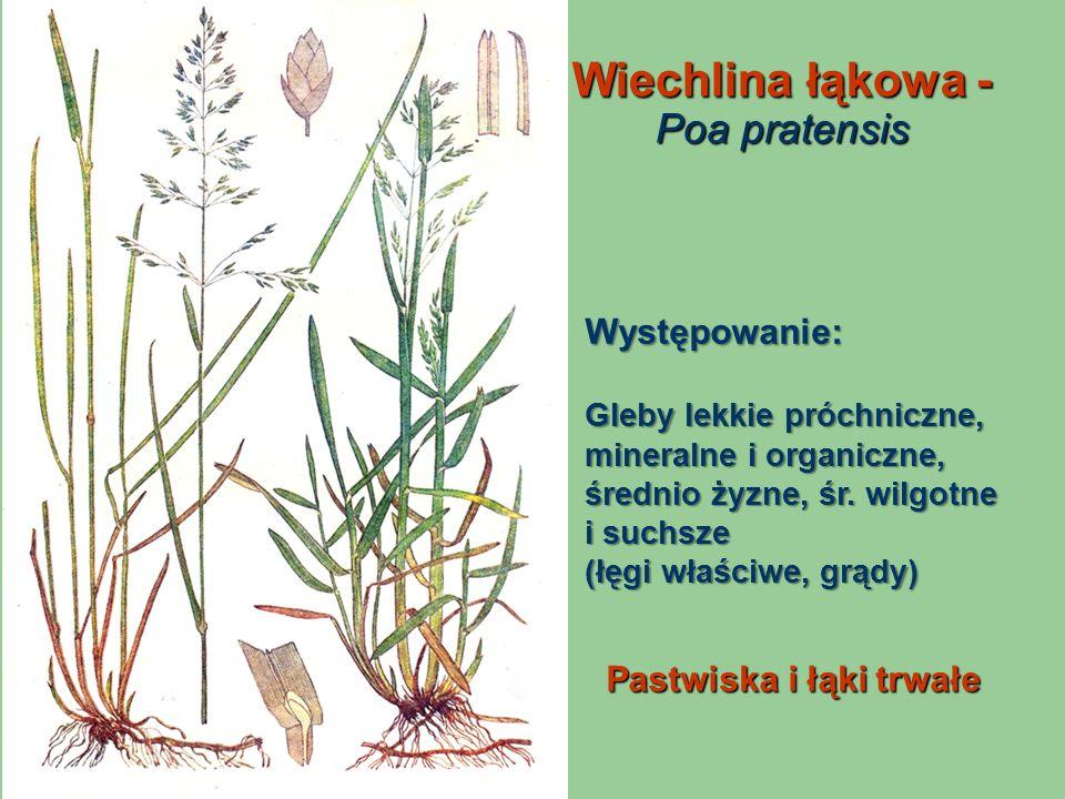 Wiechlina łąkowa - Poa pratensis Pastwiska i łąki trwałe Występowanie: Gleby lekkie próchniczne, mineralne i organiczne, średnio żyzne, śr. wilgotne i
