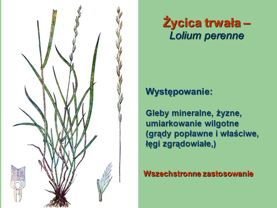 Życica trwała – Lolium perenne Wszechstronne zastosowanie Występowanie: Gleby mineralne, żyzne, umiarkowanie wilgotne (grądy popławne i właściwe, łęgi
