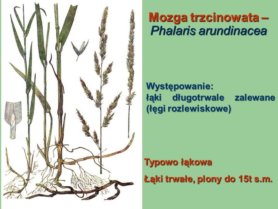 Mozga trzcinowata – Phalaris arundinacea Typowo łąkowa Łąki trwałe, plony do 15t s.m. Występowanie: łąki długotrwale zalewane (łęgi rozlewiskowe)