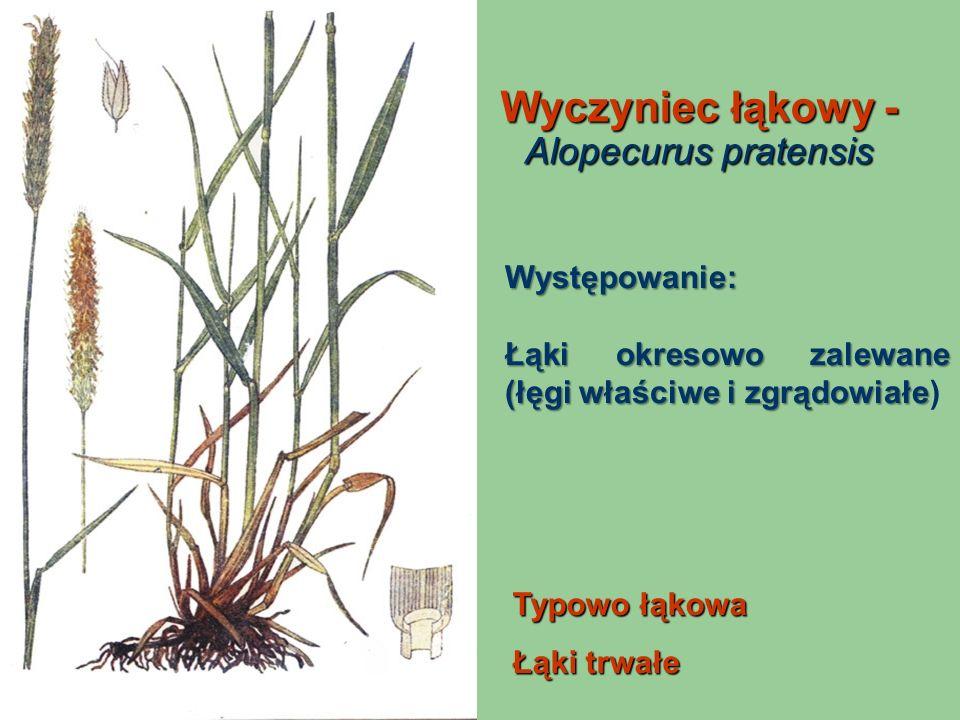 Wyczyniec łąkowy - Alopecurus pratensis Typowo łąkowa Łąki trwałe Występowanie: Łąki okresowo zalewane (łęgi właściwe i zgrądowiałe Łąki okresowo zale