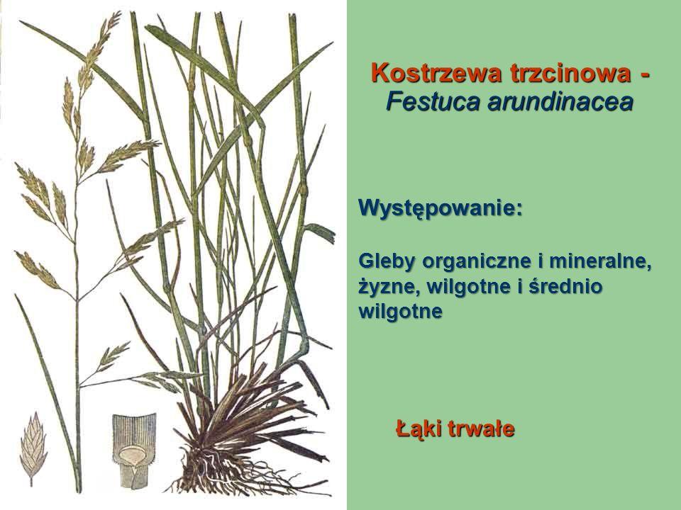 Kostrzewa trzcinowa - Festuca arundinacea Łąki trwałe Występowanie: Gleby organiczne i mineralne, żyzne, wilgotne i średnio wilgotne