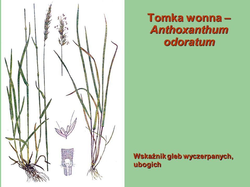 Tomka wonna – Anthoxanthum odoratum Wskaźnik gleb wyczerpanych, ubogich