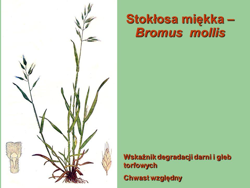Stokłosa miękka – Bromus mollis Wskaźnik degradacji darni i gleb torfowych Chwast względny