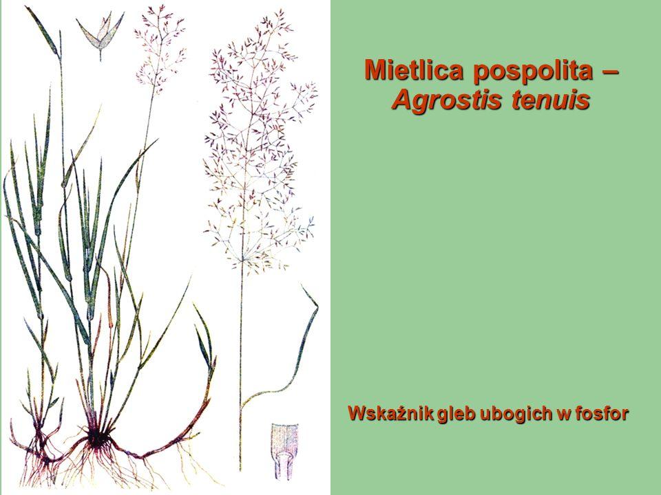 Mietlica pospolita – Agrostis tenuis Wskaźnik gleb ubogich w fosfor