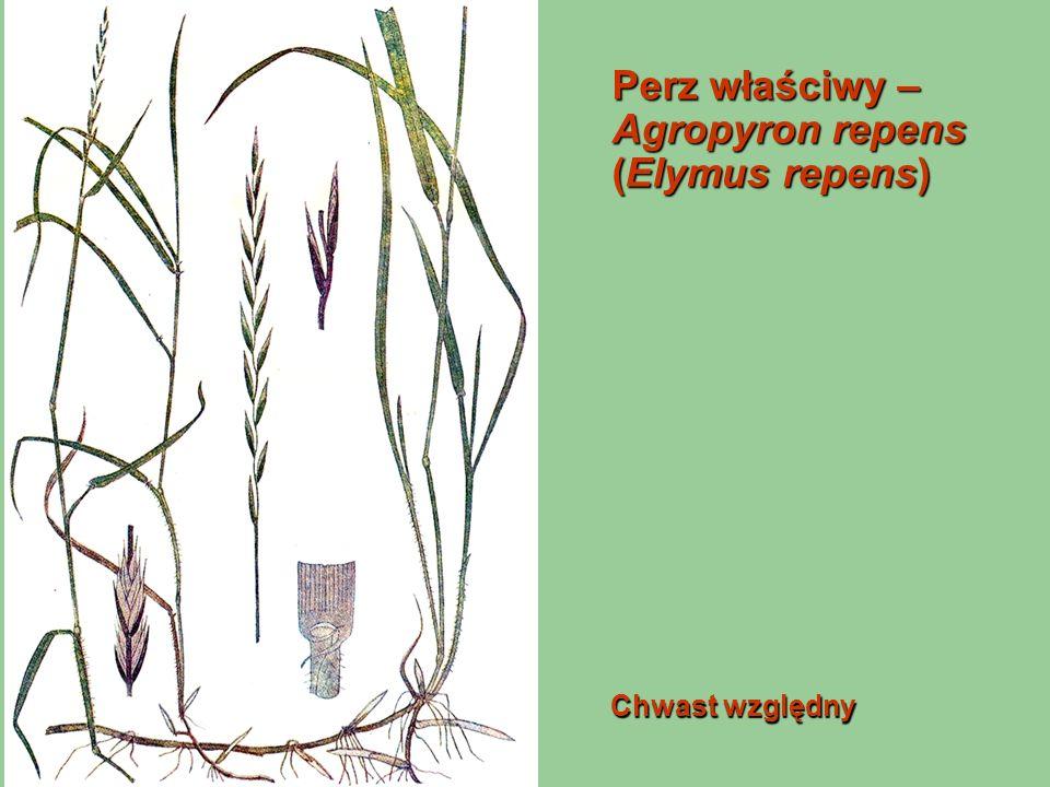 Perz właściwy – Agropyron repens (Elymus repens) Chwast względny