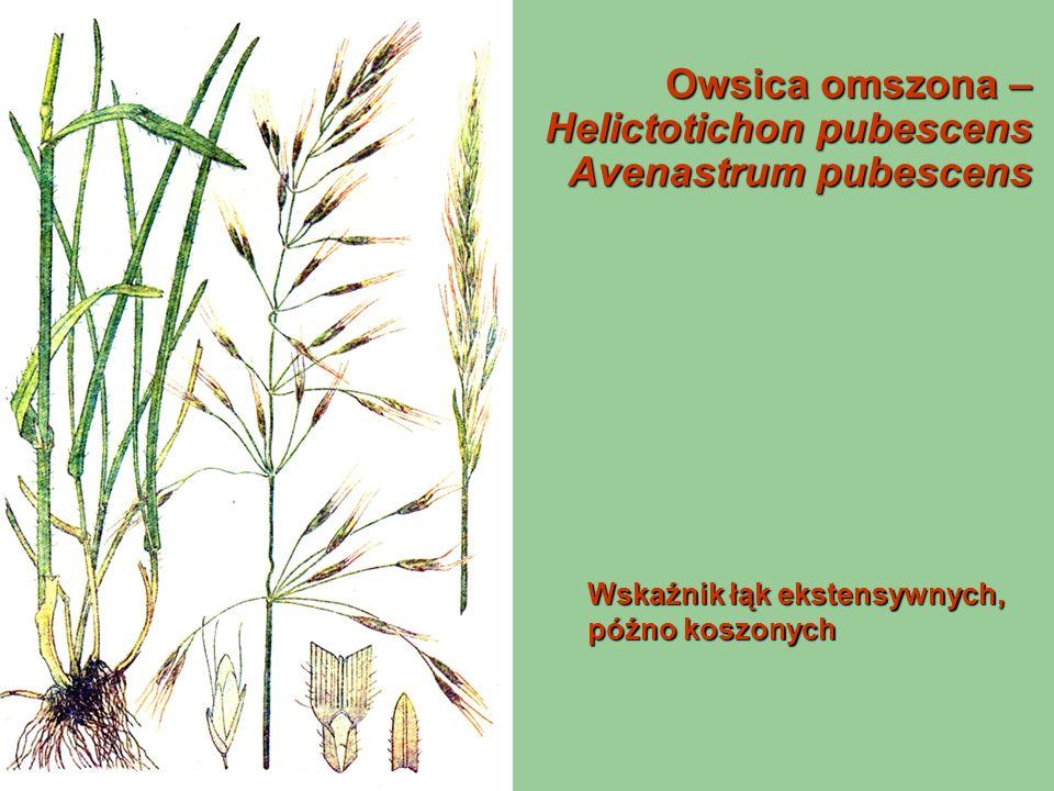 Owsica omszona – Helictotichon pubescens Avenastrum pubescens Wskaźnik łąk ekstensywnych, późno koszonych