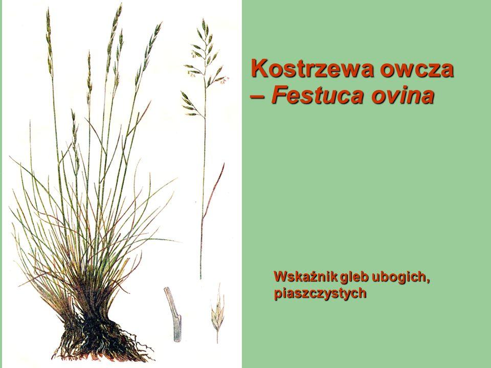 Kostrzewa owcza – Festuca ovina Wskaźnik gleb ubogich, piaszczystych