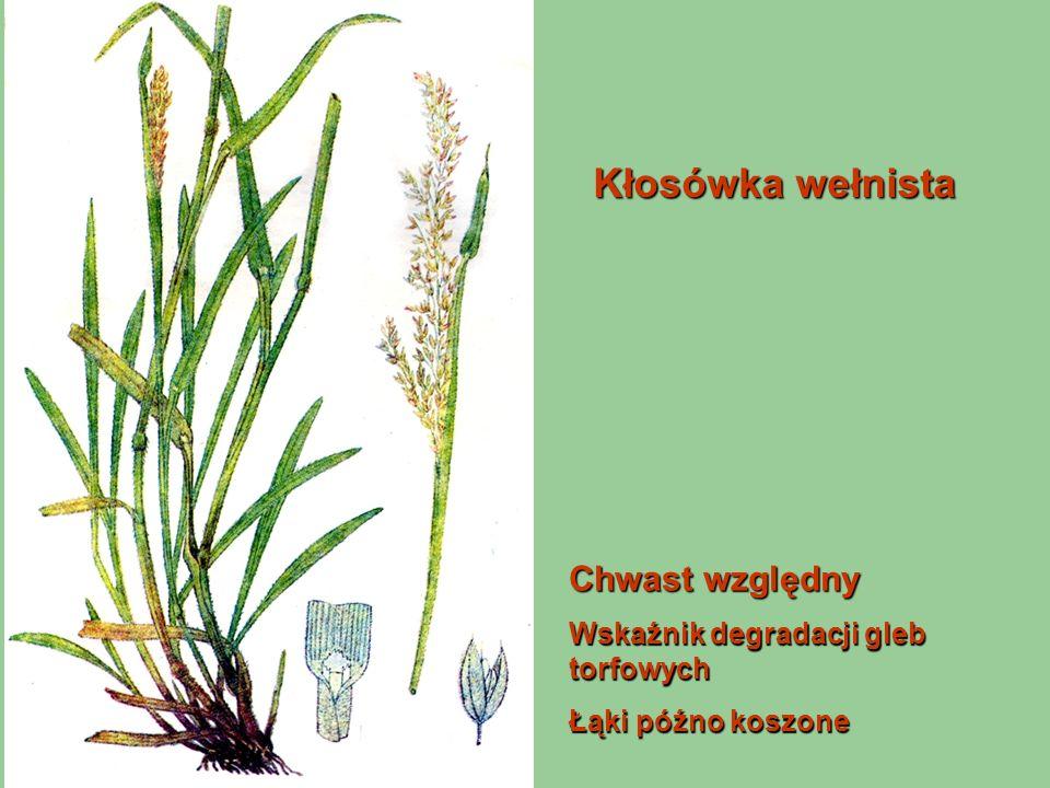 Kłosówka wełnista Chwast względny Wskaźnik degradacji gleb torfowych Łąki późno koszone