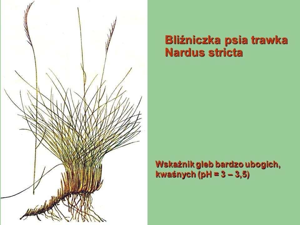 Bliźniczka psia trawka Nardus stricta Wskaźnik gleb bardzo ubogich, kwaśnych (pH = 3 – 3,5)