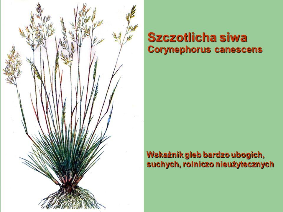 Szczotlicha siwa Corynephorus canescens Wskaźnik gleb bardzo ubogich, suchych, rolniczo nieużytecznych