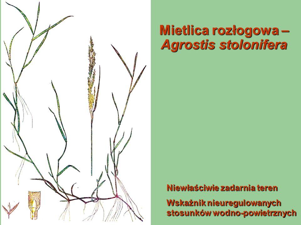 Mietlica rozłogowa – Agrostis stolonifera Niewłaściwie zadarnia teren Wskaźnik nieuregulowanych stosunków wodno-powietrznych