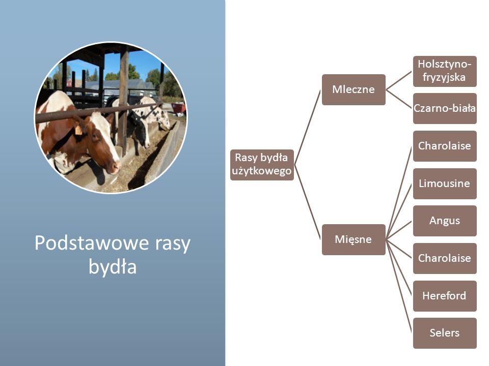 Podstawowe rasy bydła Rasy bydła użytkowego Mleczne Holsztyno- fryzyjska Czarno-biała Mięsne CharolaiseLimousineAngusCharolaise HerefordSelers Schemat
