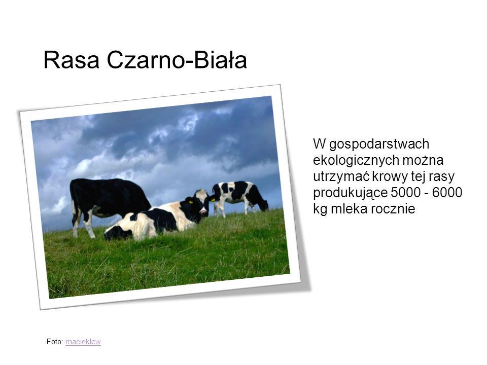 Rasa Czarno-Biała W gospodarstwach ekologicznych można utrzymać krowy tej rasy produkujące 5000 - 6000 kg mleka rocznie Foto: macieklewmacieklew