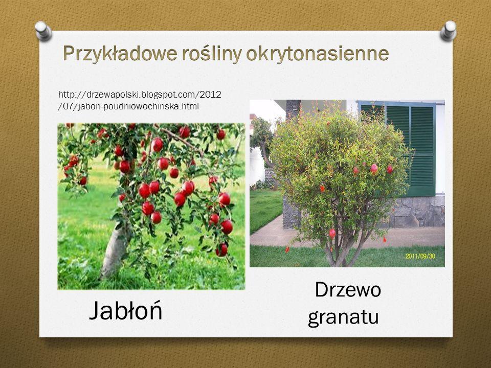 Przykładowe owoce roślin okrytonasiennych Owoce granatu Owoce mango