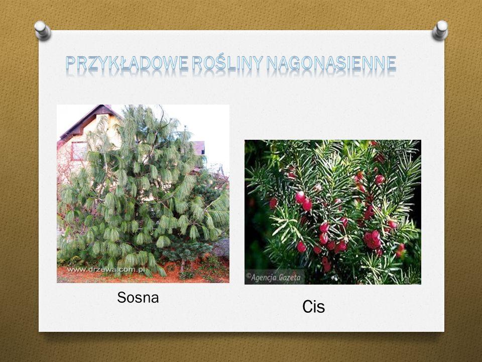Rośliny nagonasienne, nagozalążkowe ( Gymnospermae) – jedna z dwóch obok okrytonasiennych grup siostrzanych współczesnych roślin nasiennych. Wszyscy o