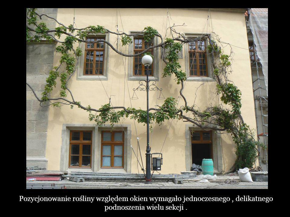 Pozycjonowanie rośliny względem okien wymagało jednoczesnego, delikatnego podnoszenia wielu sekcji.