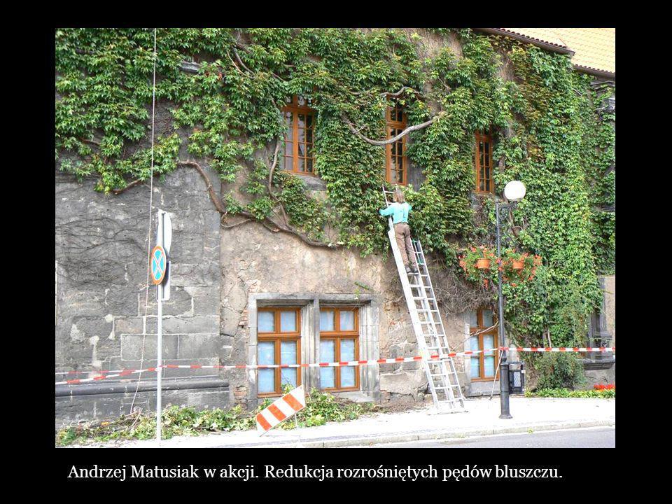 Andrzej Matusiak w akcji. Redukcja rozrośniętych pędów bluszczu.