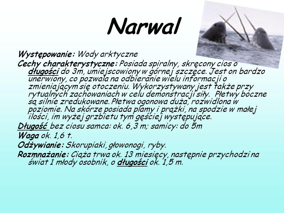 Narwal Występowanie: Wody arktyczne Cechy charakterystyczne: Posiada spiralny, skręcony cios o długości do 3m, umiejscowiony w górnej szczęce. Jest on