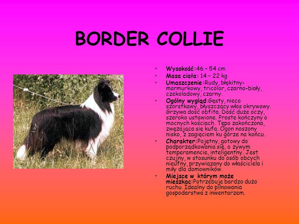 BORDER COLLIE Wysokość:46 – 54 cm Masa ciała: 14 – 22 kg Umaszczenie:Rudy, błękitny- marmurkowy, tricolor, czarno-biały, czekoladowy, czarny. Ogólny w