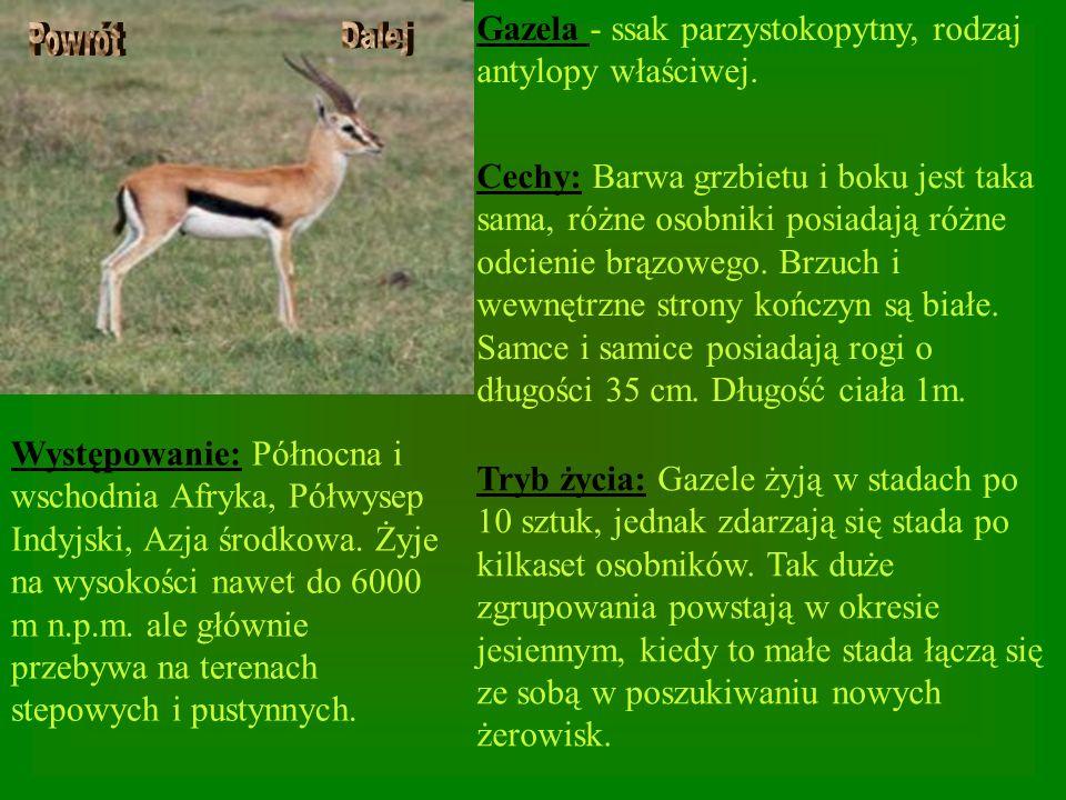 Gazela - ssak parzystokopytny, rodzaj antylopy właściwej. Cechy: Barwa grzbietu i boku jest taka sama, różne osobniki posiadają różne odcienie brązowe