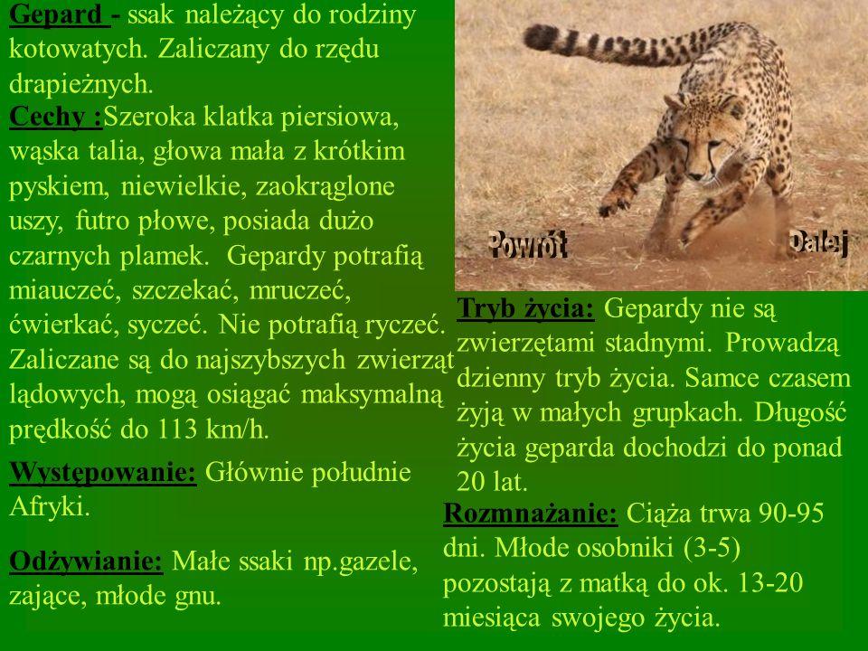 Gepard - ssak należący do rodziny kotowatych. Zaliczany do rzędu drapieżnych. Cechy :Szeroka klatka piersiowa, wąska talia, głowa mała z krótkim pyski
