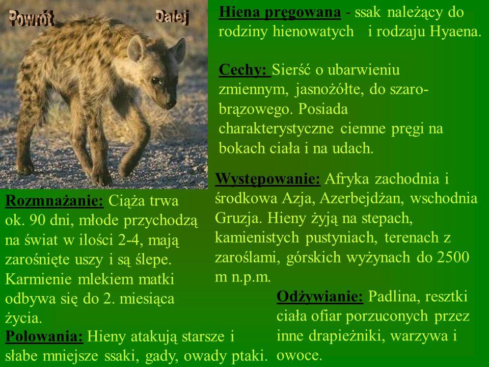 Hiena pręgowana - ssak należący do rodziny hienowatych i rodzaju Hyaena. Cechy: Sierść o ubarwieniu zmiennym, jasnożółte, do szaro- brązowego. Posiada