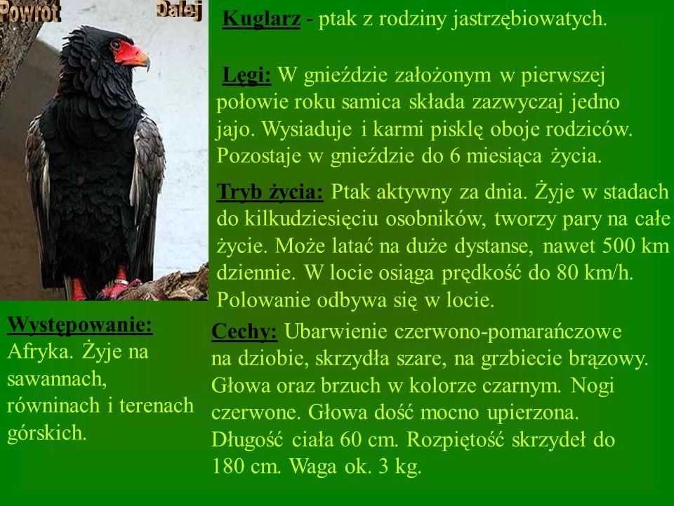 Kuglarz - ptak z rodziny jastrzębiowatych. Występowanie: Afryka. Żyje na sawannach, równinach i terenach górskich. Cechy: Ubarwienie czerwono-pomarańc