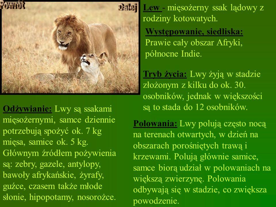 Lew - mięsożerny ssak lądowy z rodziny kotowatych. Występowanie, siedliska: Prawie cały obszar Afryki, północne Indie. Tryb życia: Lwy żyją w stadzie