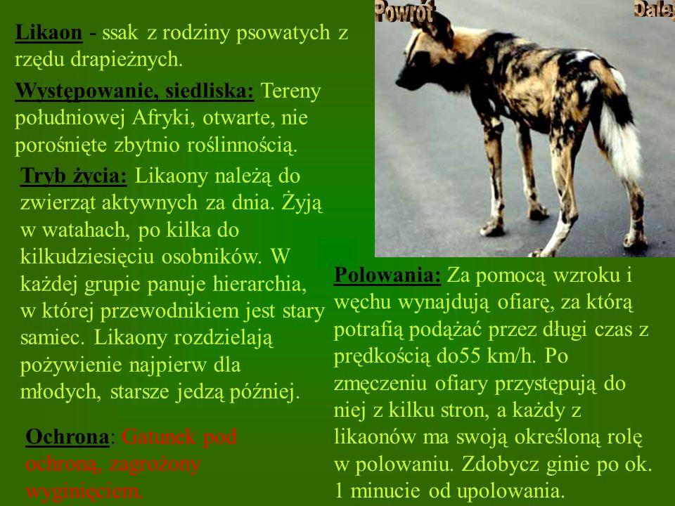 Likaon - ssak z rodziny psowatych z rzędu drapieżnych. Występowanie, siedliska: Tereny południowej Afryki, otwarte, nie porośnięte zbytnio roślinności