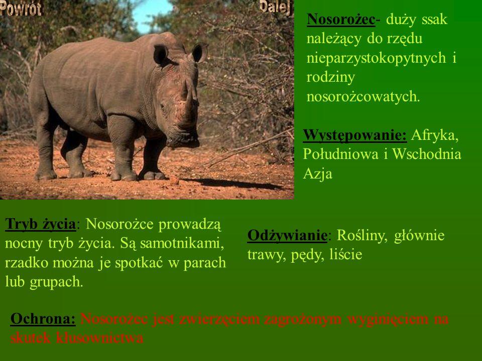 Nosorożec- duży ssak należący do rzędu nieparzystokopytnych i rodziny nosorożcowatych. Występowanie: Afryka, Południowa i Wschodnia Azja Tryb życia: N