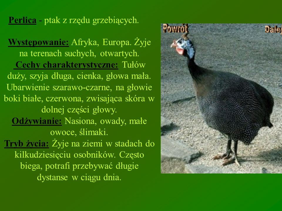 Perlica - ptak z rzędu grzebiących. Występowanie: Afryka, Europa. Żyje na terenach suchych, otwartych. Cechy charakterystyczne: Tułów duży, szyja dług