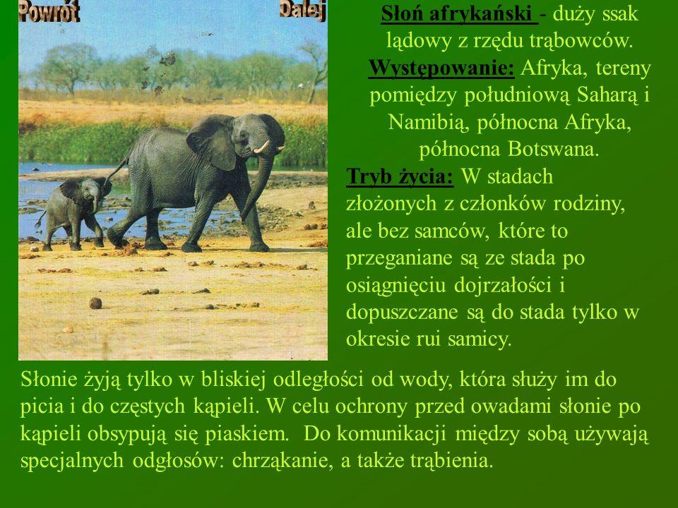 Słoń afrykański - duży ssak lądowy z rzędu trąbowców. Występowanie: Afryka, tereny pomiędzy południową Saharą i Namibią, północna Afryka, północna Bot