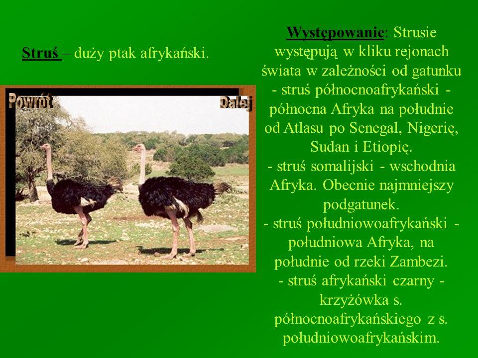 Struś – duży ptak afrykański. Występowanie: Strusie występują w kliku rejonach świata w zależności od gatunku - struś północnoafrykański - północna Af