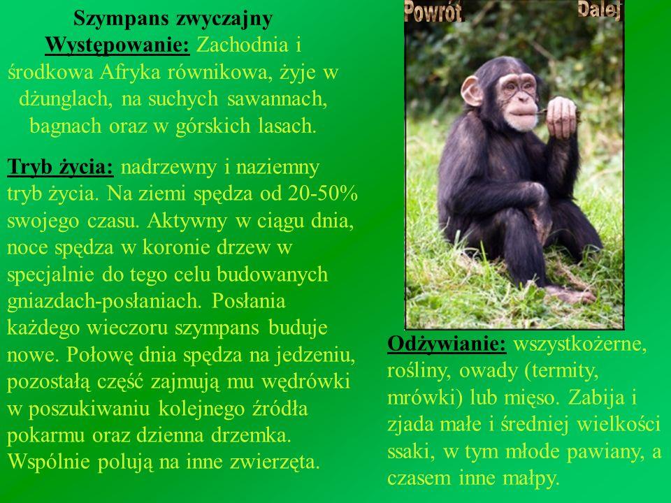 Szympans zwyczajny Występowanie: Zachodnia i środkowa Afryka równikowa, żyje w dżunglach, na suchych sawannach, bagnach oraz w górskich lasach. Tryb ż