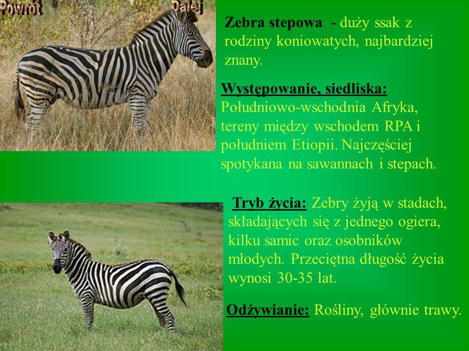 Zebra stepowa - duży ssak z rodziny koniowatych, najbardziej znany. Występowanie, siedliska: Południowo-wschodnia Afryka, tereny między wschodem RPA i